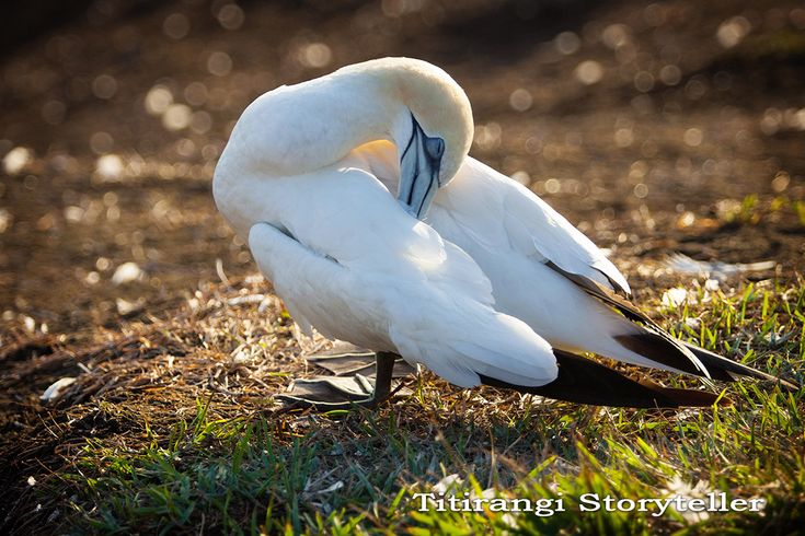 Gannet at Rest - How beautiful is that?