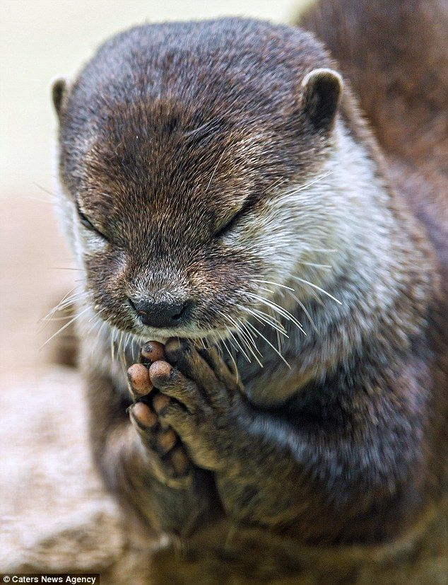 Bless this food: An otter clasps his hands together and closes his eyes in the Bois du Petit animal park in Switzerland before settling down for a fishy treat