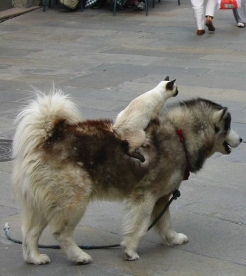 just grabbing a ride: Siam Cat, Lol Cat, Animal Pictures, Best Friends, Funny Pictures, Dogs Cat, Effugere Lolcat, Funny Animal, So Funny