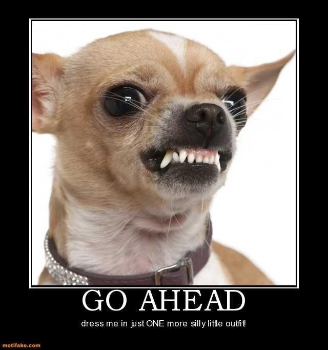 Image result for little dogs meme | Aggressive dog breeds ...