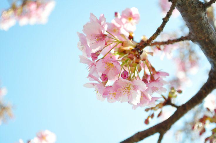 A Japanese cherry tree_sakura