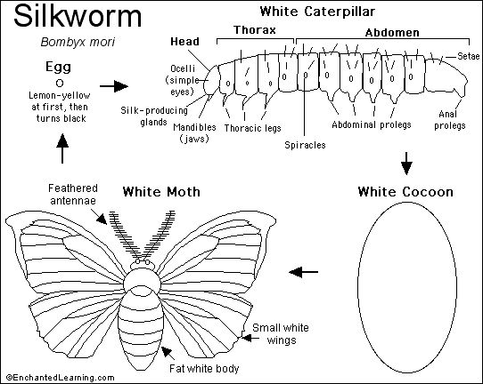 Silkworm informative worksheet and diagram (great to use with chapter 10 of SOTW)