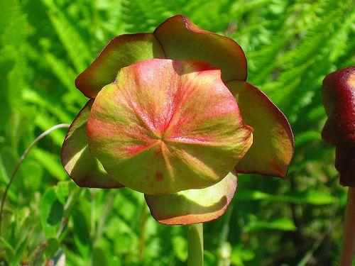 Provincial flowere of Newfoundland and Labrador, the Pitcher Plant