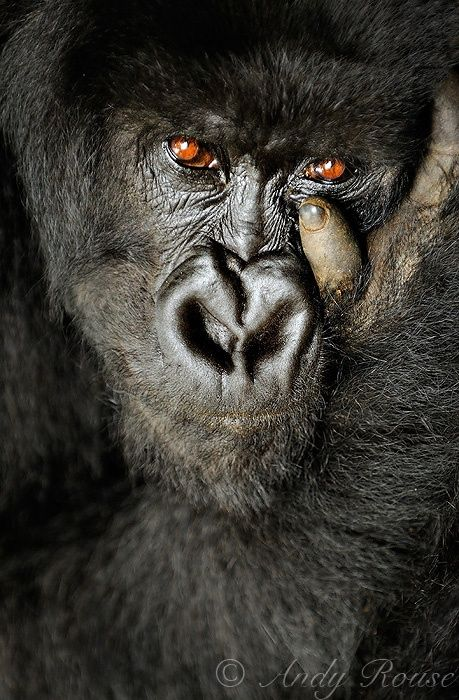 Wild Eyes | An intense stare from a female mountain gorilla | by Andy Rouse