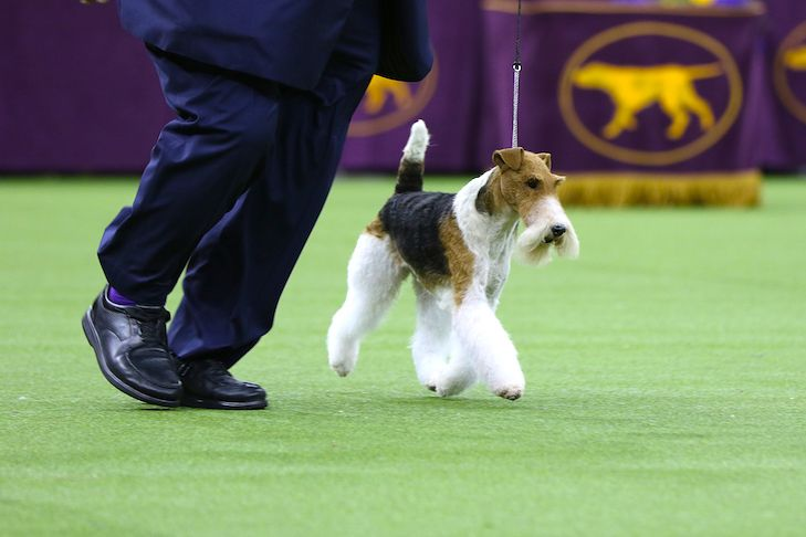How To Watch The 2020 Westminster Kennel Club Dog Show In 2020 Dog Show Westminster Dog Show Dogs