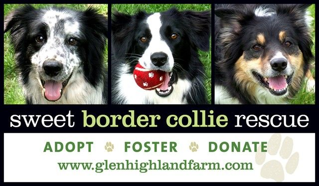 The Sweet Border Collie Rescue in Morris, NY seeks to