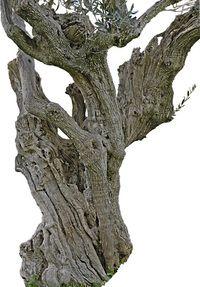 Tronco de olivo