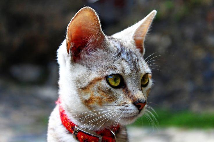 Descargar foto gratis de un gato gris en primer plano > http://imagenesgratis.eu/imagen-gratis-de-un-gato-gris-en-primer-plano/