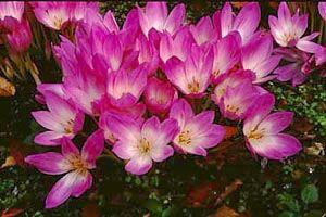 イヌサフラン Colchicum autumnale LINN. (ユリ科)花