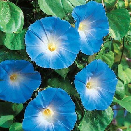 Blomman för dagen 'Heavenly Blue'