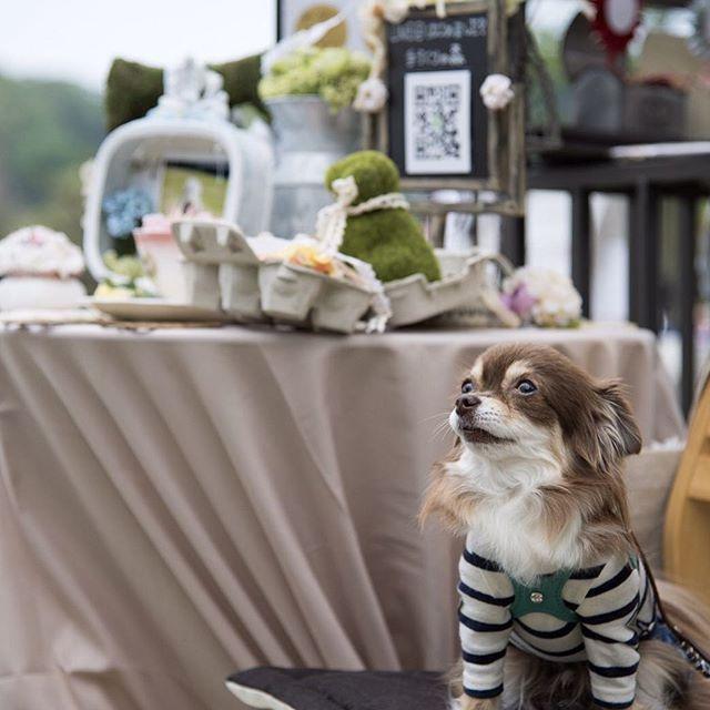 わんダフルネイチャーヴィレッジのイベントでした♪ ご来場いただきありがとうございました。 今日から当店にお越しのワンちゃんを5枚ずつアップします♪ 次は5月13日14日 東京の豊洲にて出店いたします お近くのかた、ぜひ、いらしてくださいね😃 そして、LINE@を始めてます。 line://ti/p/@lmu9425p です #愛犬 #犬グッズ #犬のいる暮らしい #多頭飼い #ペットフォトブース #手づくりの森 #犬写真 #ペット #ペット可 #ペット写真 #ペットok #ペットのため #ペット雑貨屋 #横浜  #ペットフォトフレーム #横浜 #写真 #飼い主さんプレゼント  #ペットグッズ #親バカ飼い主 #犬イベント