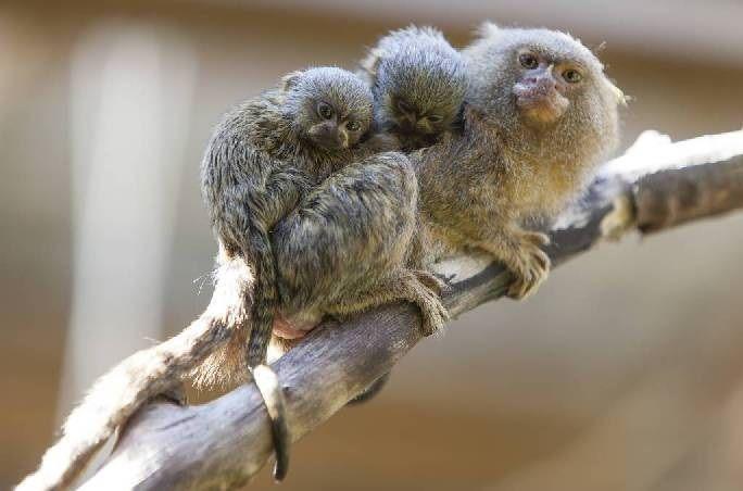 Pygmy Marmoset Monkey  with baby (DwergzijdeAapje)