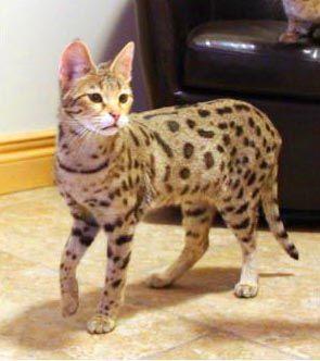 MacKenna #savannahcats #exoticcats #cats