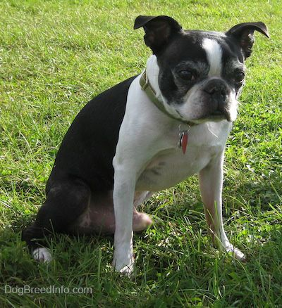Boston Terrier Information and Pictures, Boston Terriers