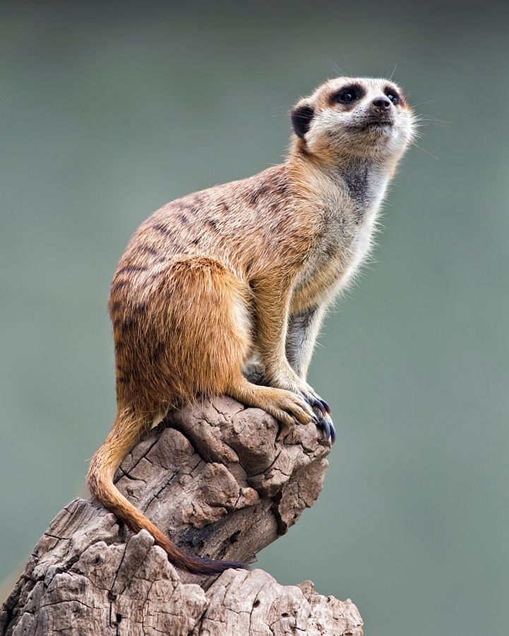 281 Best Images About Meerkats On Pinterest Africa Zoos