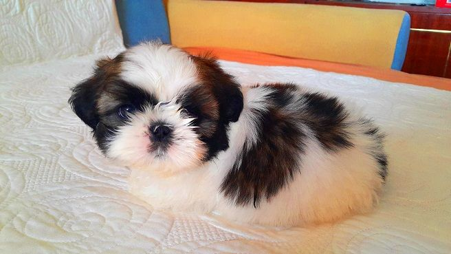 14 Realities Shih Tzu Owners Must Accept