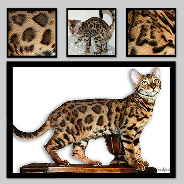 Unbelievable Facts: World's Most Precious Cat, Ashera ...  |Large Exotic Domestic Cats