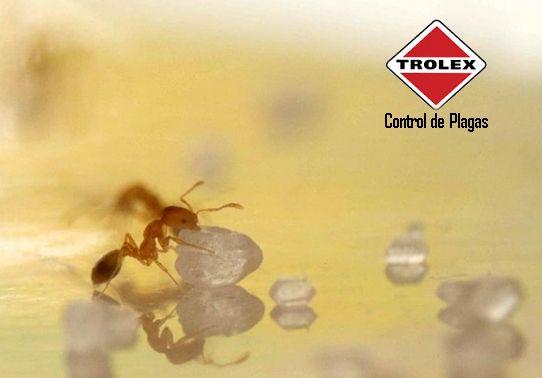 ¿Qué se puede hacer para erradicar un nido de hormigas de azúcar?  Lo primero es ubicar el nido, una vez localizado puede usar alguna de estas alternativas: