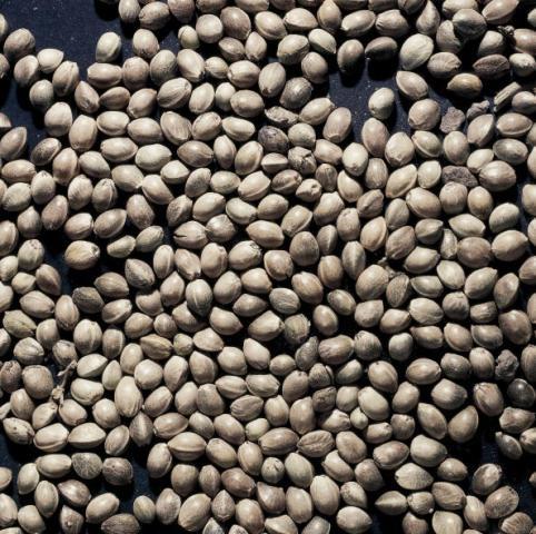 Le ricette con i semi di canapa e le proprietà salutari