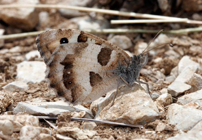 The Hermit Butterfly (Chazara Briseis). Central and Southern Europe and The Middle East.
