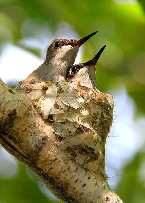 two nestling black-chinned hummingbirds - [photo] by Ed Riche*