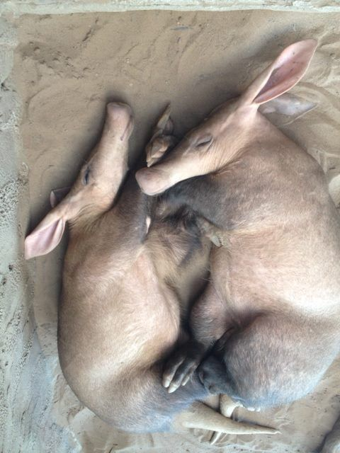 aardvarks from Chester Zoo