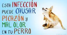 Los perros con infección por levaduras a menudo tienen un Sistema inmunológico desequilibrado, alergia, toman antibióticos, o están inmunodeprimidos