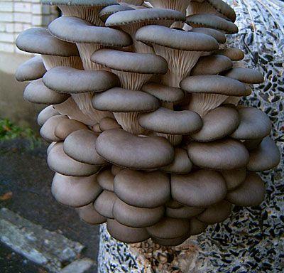 Мицелий грибов вешенки - на древесном носителе (деревянные палочки). Вешенка обыкновенная легка в выращивании, растёт большими группами. Шляпки грибов изогнутой, рожковидной формы, в зависимости от места обитания от светло-серого до тёмно-пепельного цвета. Первый урожай можно получить - на мягкой древесине (тополь, ива, берёза) через 3 месяца, на твёрдой (клён, бук, рябина) через 5 месяцев. Выращивают вешенку с апреля по сентябрь.