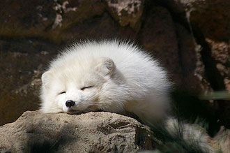 A super-cute arctic fox: too white and fluffy to use   Too ...