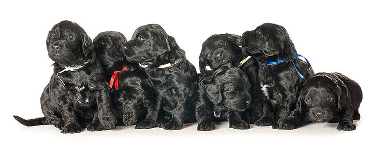 Portuguese Water Dog Puppies | Cão de Água Português