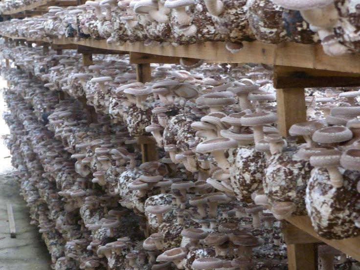 dyrkning af svampe - Google-søgning