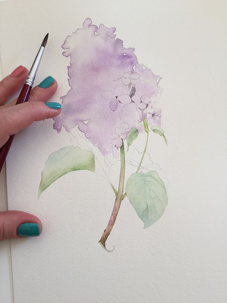 Lilac botanical illustration with watercolor
