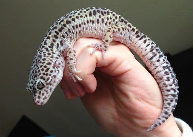 Mack Super Snow Leopard gecko for sale online baby mack super snow leopard gargoyle geckos for sale where to buy geckos for sale online gecko breeder of crested geckos for sale near me