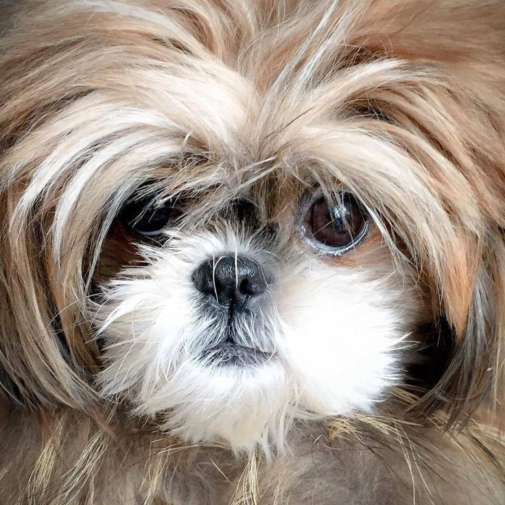 what does a shih tzu dog look like 66 best images about d o g on pinterest puppys hypoallergenic dog breed and shih tzus 2960