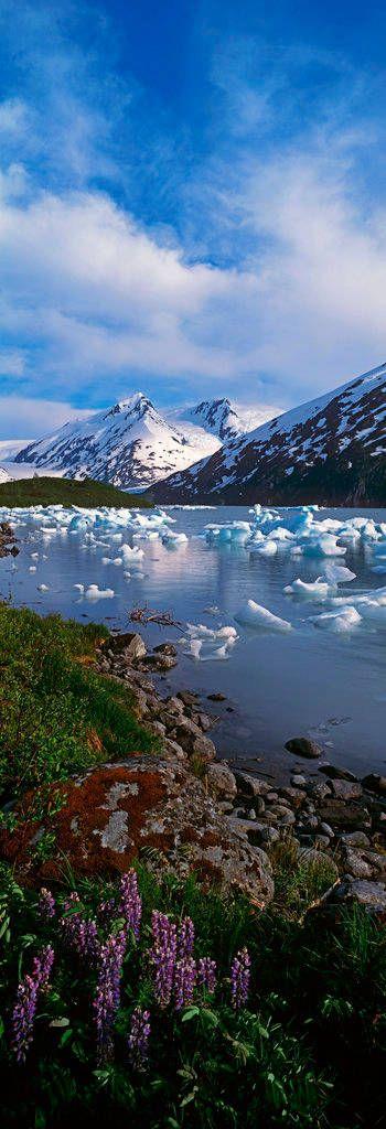 Kenai-Berge, National-Wald, Glacier, Lupine,  Alaska, USA
