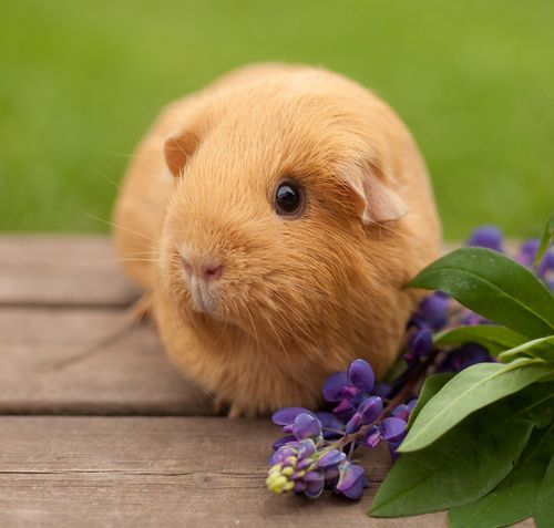 3408 best images about guineapig lovers cuties for Free guinea pig stuff