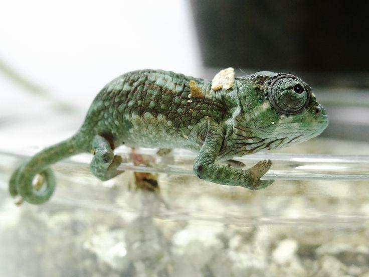 Trioceros quadricornis: Chameleons: Panther Chameleons for sale,Panther Chameleon Breeders: Kammerflage Kreations