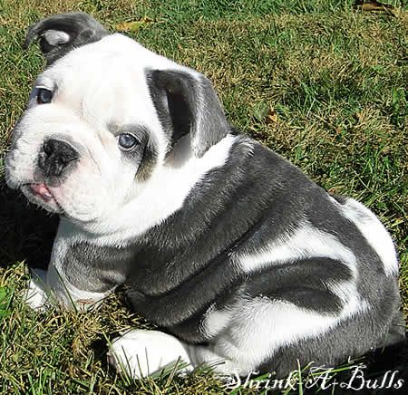 blue english bulldog...oh my gosh!!!! I could eat him up he is so cute!!