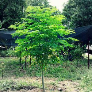 The Truth About Moringa Oleifera                                                                                                                                                                                 More