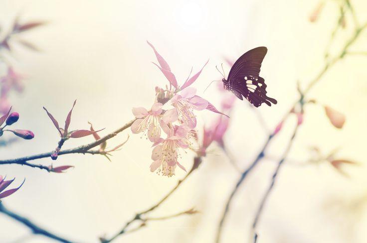 Vier elke dag als een nieuw begin Het Japanse Hanami, het jaarlijkse kersenbloesemfestival, staat in het teken van de vergankelijke schoonheid van de Sakura. De eeuwenoude traditie vindt plaats op het moment dat deze prachtige bloesembomen door het hele land in bloei staan. De kersenbloesem heeft voor de Japanners een belangrijke symbolische betekenis. Het begin …