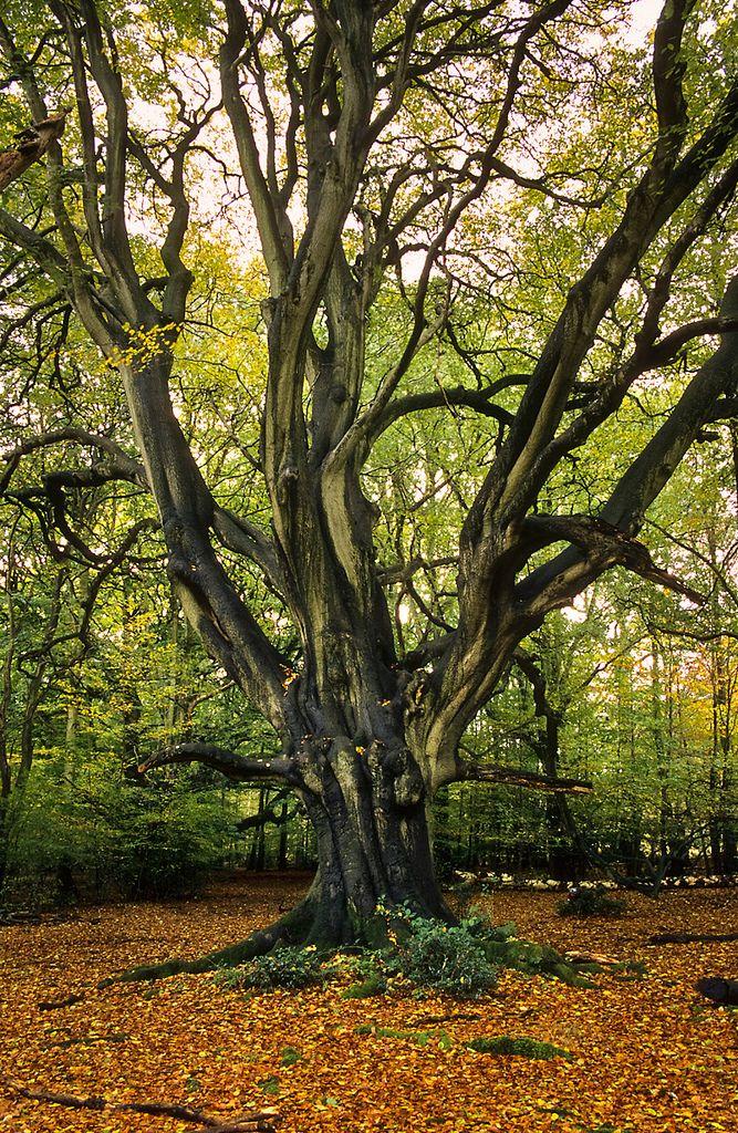 Frithsden Beeches Area, Ashridge Forest, UK Early Autumn views