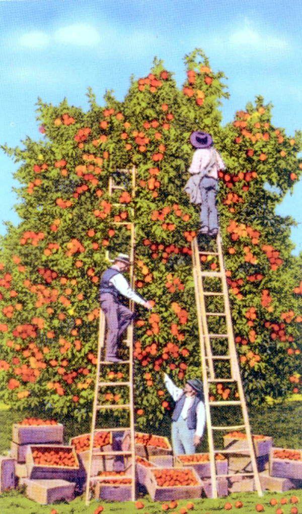 Florida Memory - Picking oranges