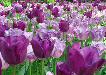 tulipani viola