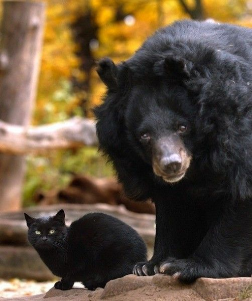 MUSCHI AND MAUSI ~ When the mysterious black cat Muschi crossed Mausi the bear's path, instead of bad luck, the zoo animal found a friend. How Muschi got into Mausi the bear's enclosure at the Berlin Zoo in 2001 is still unknown. But ever since then, the cat and bear have stuck together. Zookeepers even had to move Muschi into Mausi's cage while the enclosure was being expanded, because the two couldn't stand being without each other.