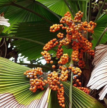 Red palm oil is a nutritional and inflammation fighting powerhouse that rivals its more popular tropical cousin coconut oil.