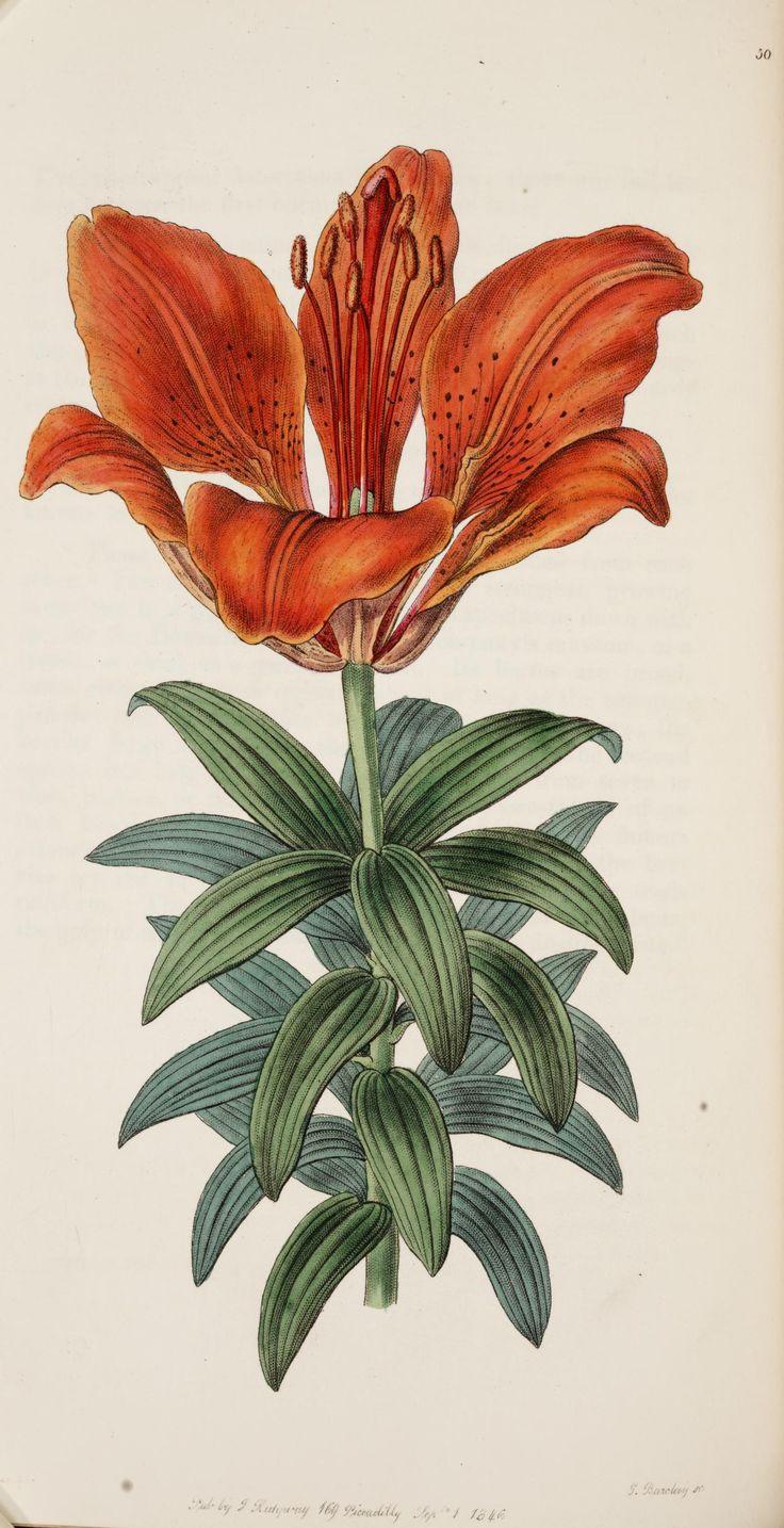 Blood-red Lily (Lilium sanguineum). Edwards's botanical register v. 32  London :James Ridgway,1829-1847.  Biodiversitylibrary. Biodivlibrary. BHL. Biodiversity Heritage Library, old illustration, flower, floral, flowers, picture, old, poster, illustration, vintage
