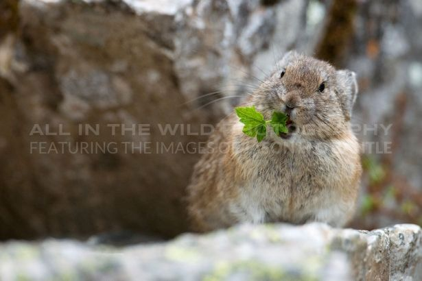 PIKA SURPRISE Lake Louise, AB   I hiked up to the Plain-of-Six-Glaciers teahouse in hope of capturing some nice shots, but the weather did not co-operate.  Although my friend thought it crazy to pack my 600mm lens, it was worth it when we came across this pika on our hike back down
