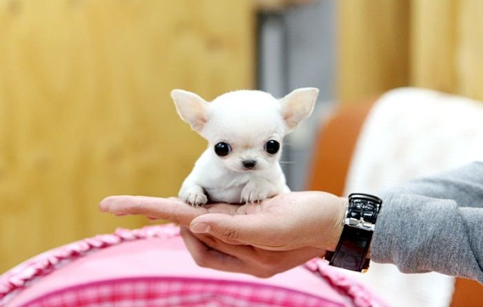 apple head chihuahua puppies 32 best images about apple head chihuahuas on pinterest 9318