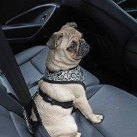 gala-seatbelt-dog-leashpuppia-black-1.jpg