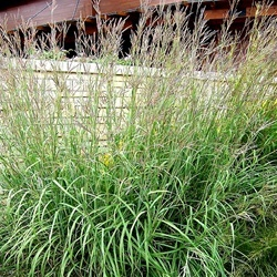 Andropogon gerardiFloraison =  août et septembre Hauteur = 150 cm Espacement = 45 cm Zone =  4 Graminée de grande taille au feuillage arqué qui devient jaune-orangé à l'automne. Épis floraux pourpres, en forme de pied-de-poule. Excellent pour contrôler l'érosion dans une pente. Espèce typique de la prairie sauvage. Sol bien drainé. Indigène.